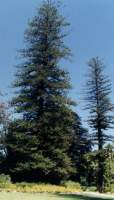 giant Norfolk pine in Arderne Gardens
