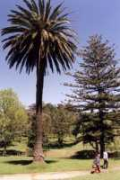 palm tree in Wynberg Park