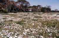 field of white daisies near Kommetjie